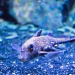 Fish Feat: Deep-Sea Chimeras Survive First Year in Captivity