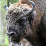 No Bull: British Cowboys Needed for New Bison Herd in Kent